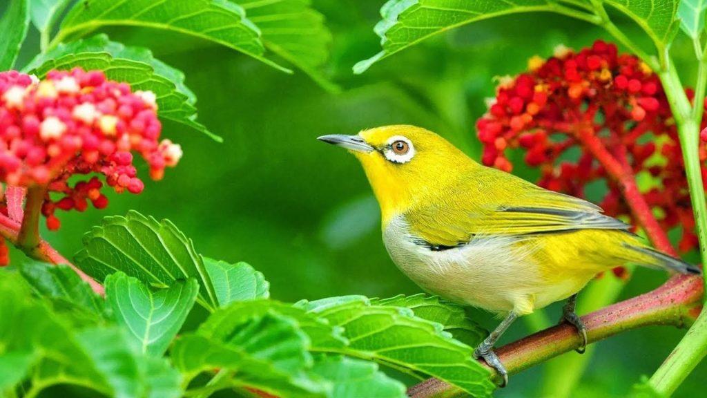 Желто-зеленая птица на зеленых листьях растения ветви птицы обои скачать