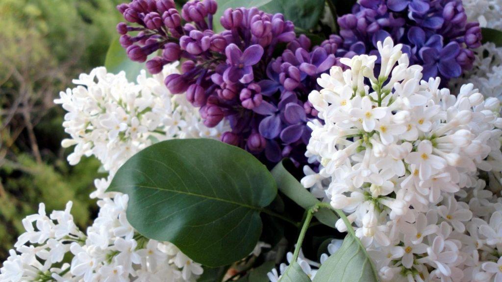Крупным планом сирень цветущие ветви весенний цветок цветы обои скачать