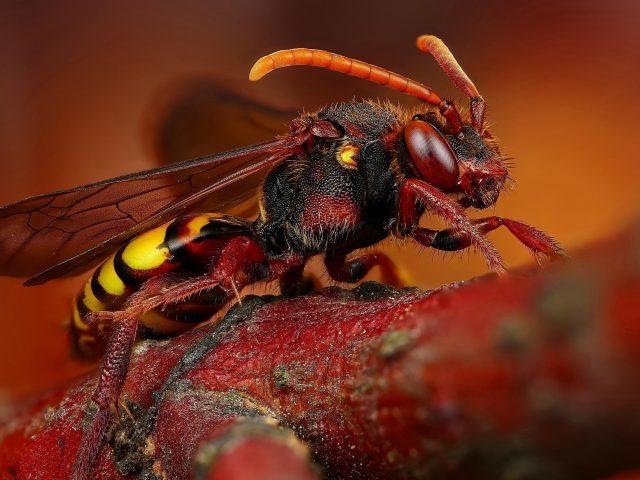 Животное пчела