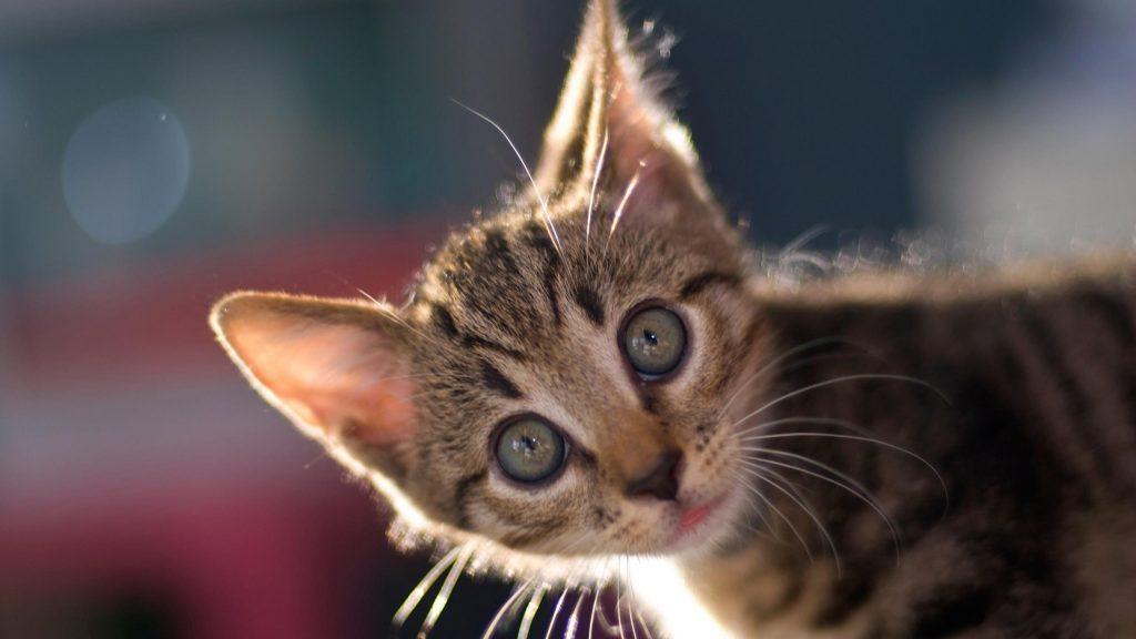 Карие черные серые глаза котенка с пристальным взглядом котенка обои скачать