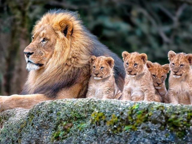 Большой лев и львята сидят на скале в размытом фоне животных