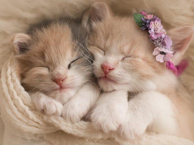 Два красивых котенка спят накрытые белым полотенцем котята
