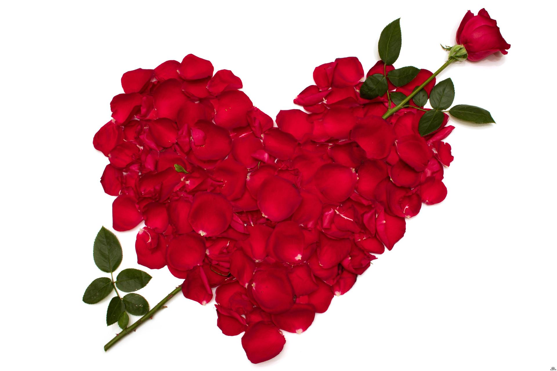 Розы, цветы, цветок, красная обои скачать