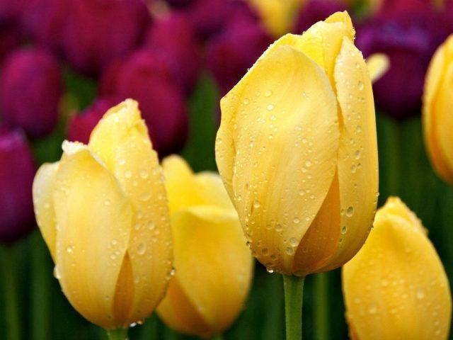 Желтые тюльпаны бутоны капли воды травы цветы