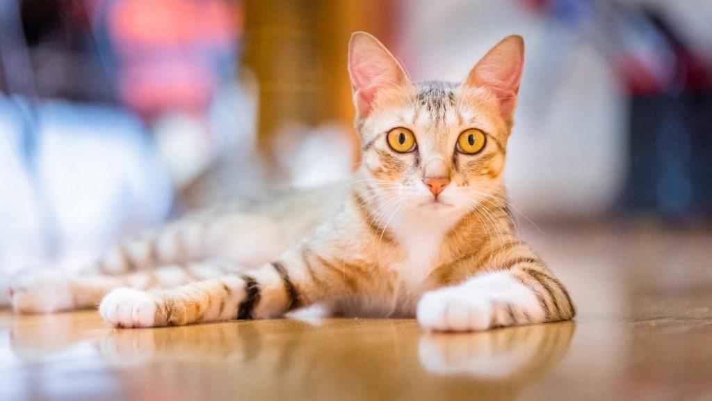 Желтые глаза коричнево белая кошка лежит на полу кошка обои скачать