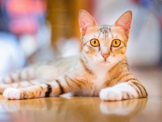 Желтые глаза коричнево белая кошка лежит на полу кошка