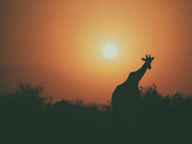 Жираф силуэт закат