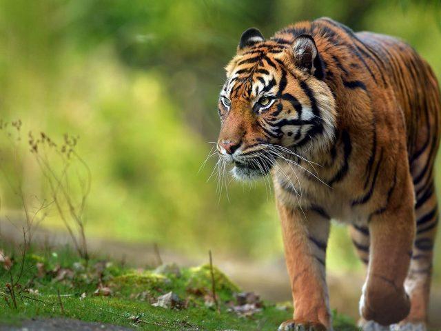 Тигр идет по зеленому травяному полю на размытом зеленом фоне тигра