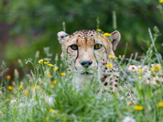Гепард большая кошка хищник взгляд