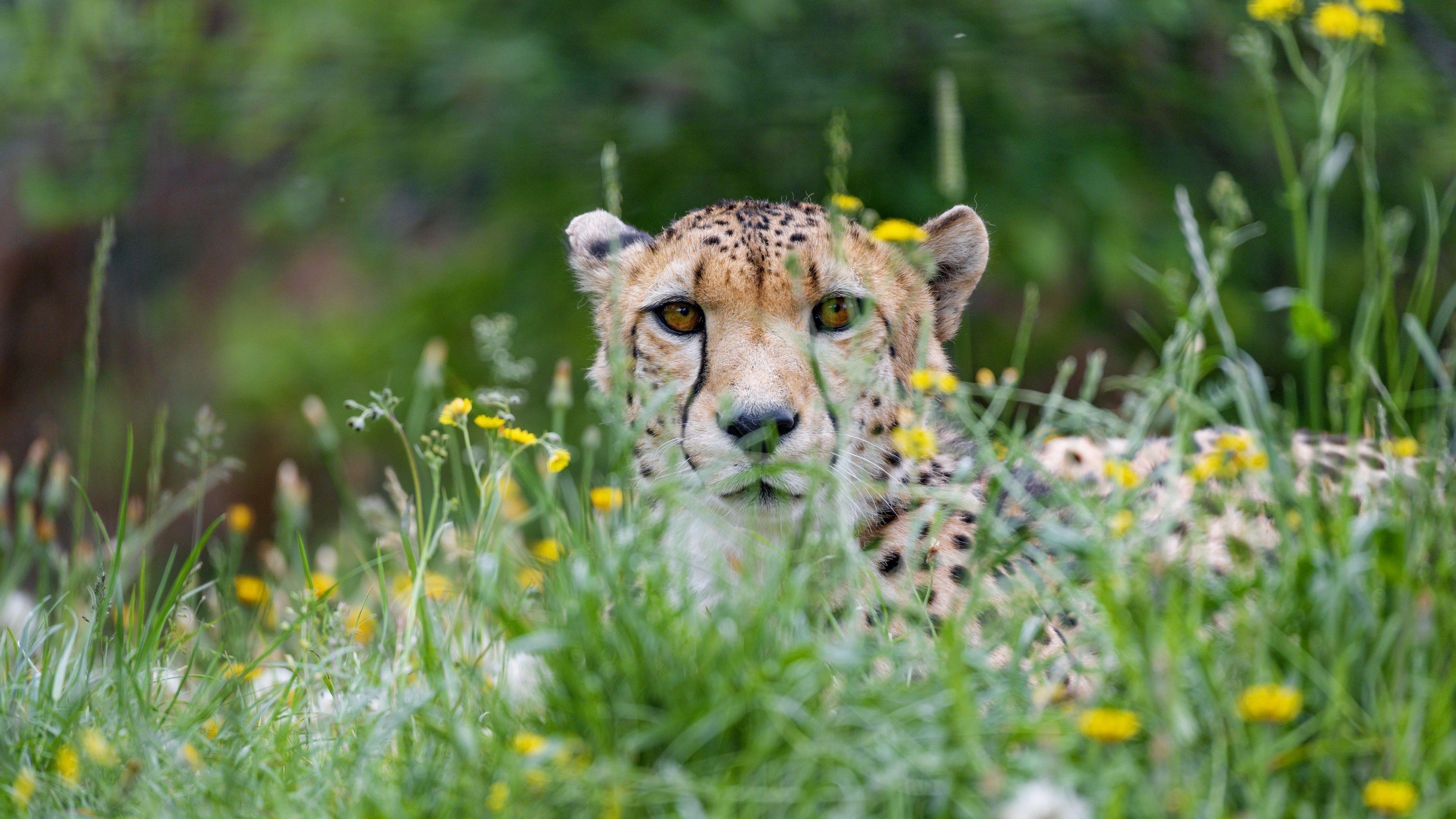Гепард большая кошка хищник взгляд обои скачать