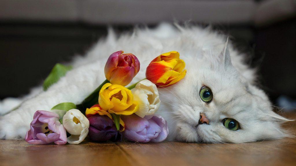 Белая кошка лежит на полу рядом с разноцветными цветами тюльпана кошка обои скачать