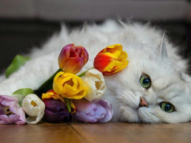 Белая кошка лежит на полу рядом с разноцветными цветами тюльпана кошка