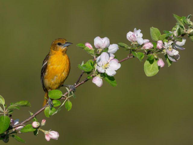 Желто-черная птица стоит на белых цветах растения на размытом зеленом фоне птицы