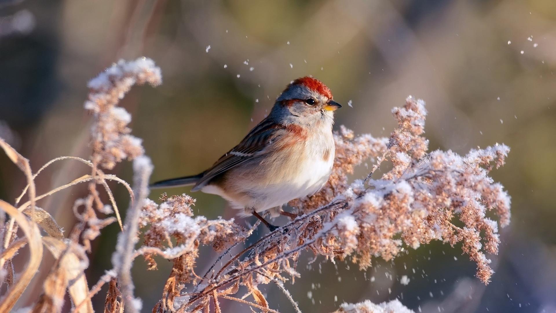 Красная черная белая птица на заснеженном растении на размытом фоне птицы обои скачать