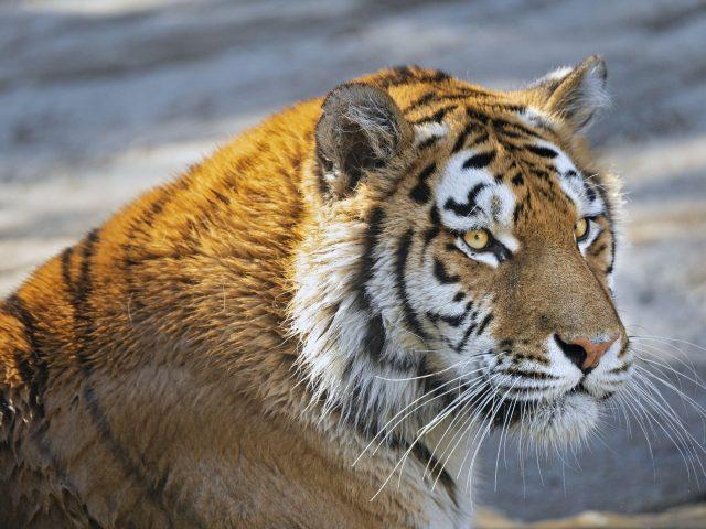 Тигр хищник взгляд Большая кошачья морда