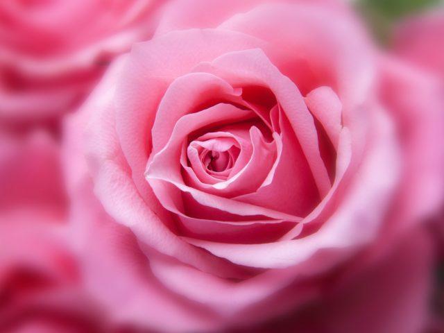 Розовый цвет розы.