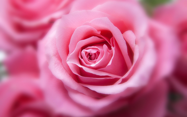 Розовый цвет розы. обои скачать