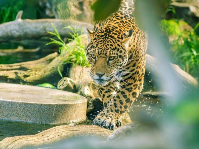 Ягуар идет по стволу дерева в водоеме животные