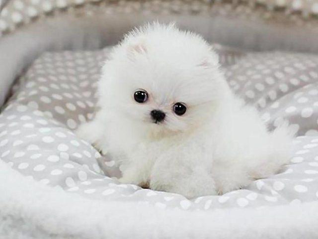 Белая собака щенок на белой ткани собака