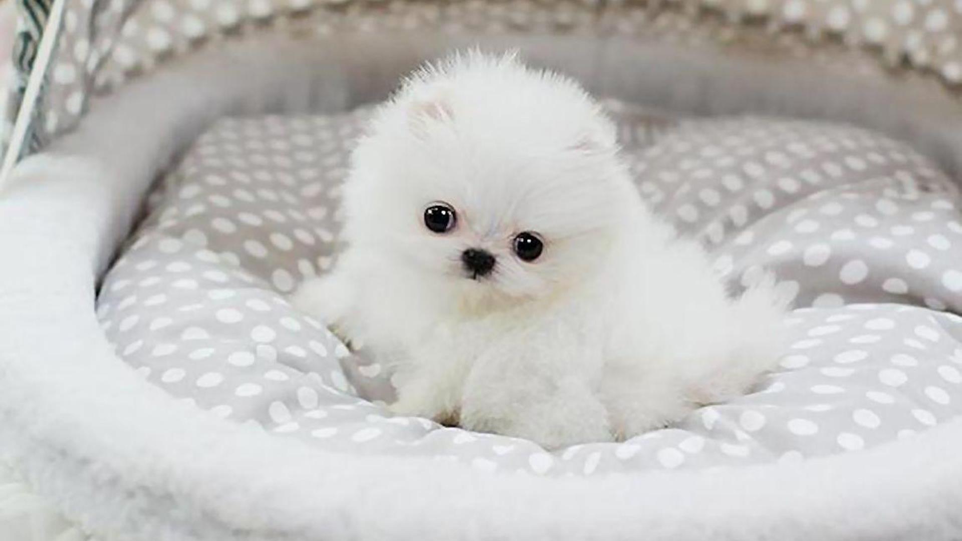 Белая собака щенок на белой ткани собака обои скачать