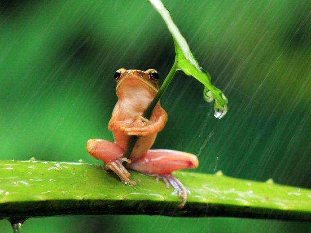 РД лягушка сидит на Алоэ Вера держит лист под дождем животные