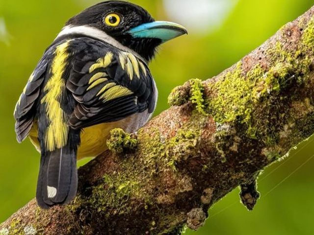 Желто-черная птица эврилаймус на покрытой водорослями ветке дерева на размытом зеленом фоне птицы
