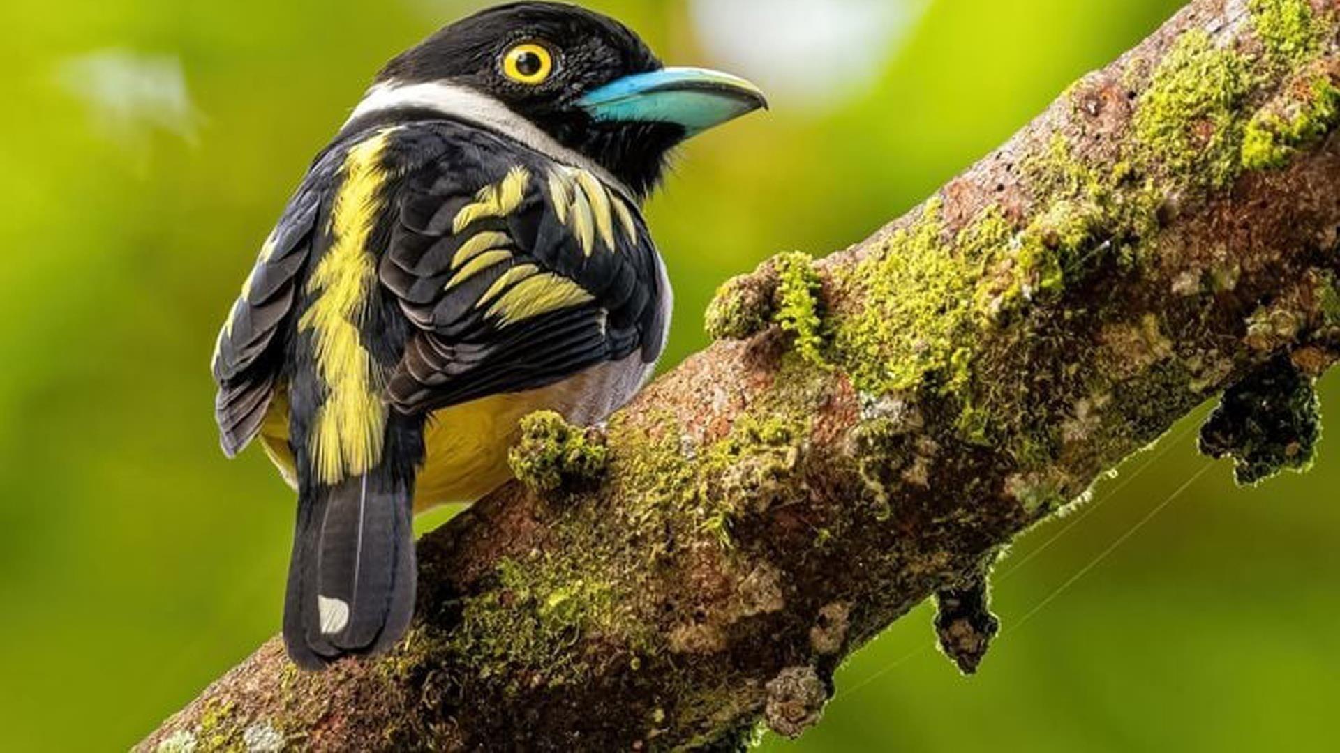 Желто-черная птица эврилаймус на покрытой водорослями ветке дерева на размытом зеленом фоне птицы обои скачать
