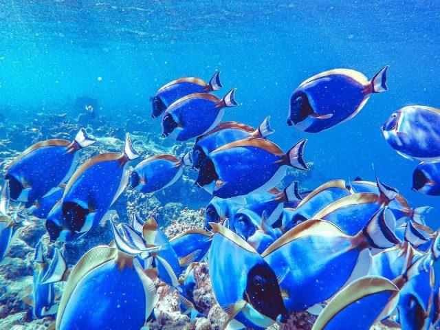 Косяк голубых рыб подводных животных