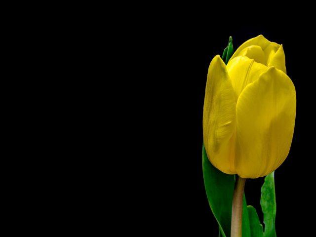 Цветок тюльпана желтые лепестки растений