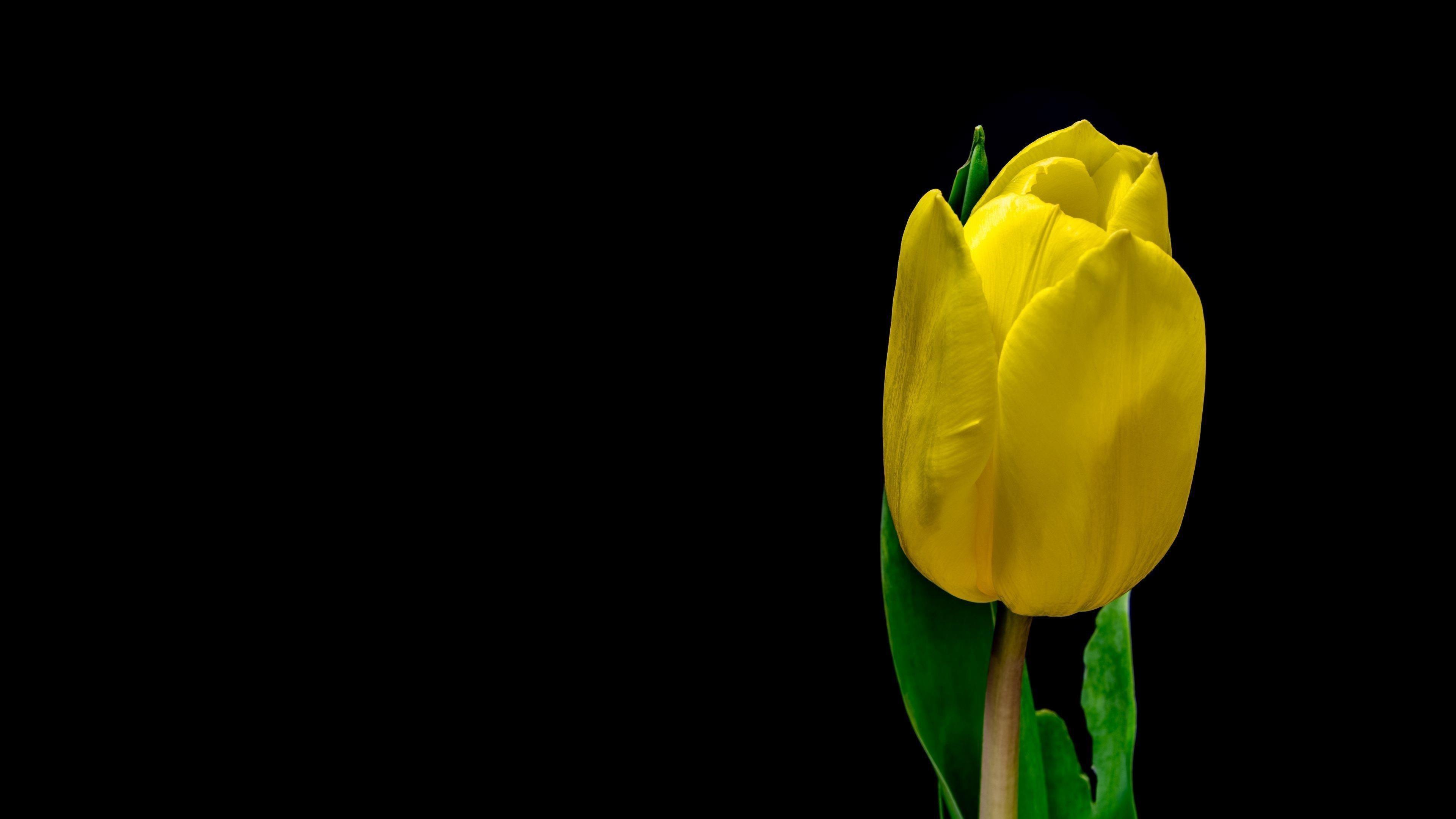 Цветок тюльпана желтые лепестки растений обои скачать