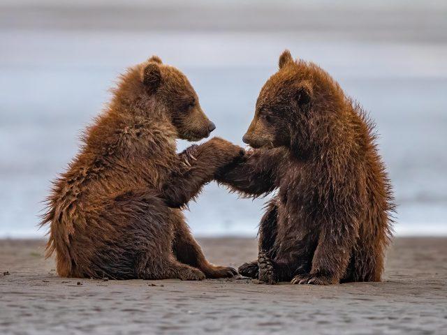 Два медвежонка сидят на пляжном песке на фоне воды в дневное время животные