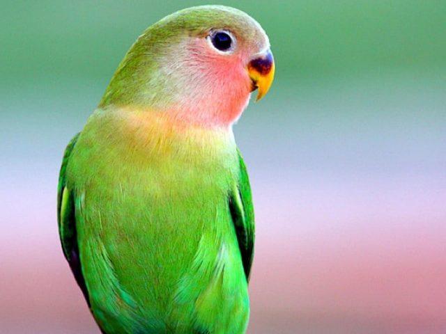 Красивый зеленый попугай на сине зеленом фоне птицы