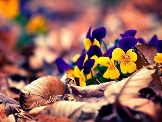Синие желтые цветы на сухих листьях в размытии сухие листья фон природа