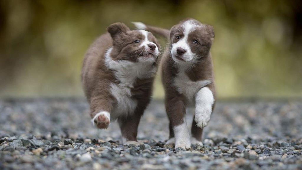 Два коричнево-белых щенка гуляют по каменной дороге в размытом фоне собаки обои скачать