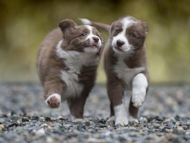 Два коричнево-белых щенка гуляют по каменной дороге в размытом фоне собаки
