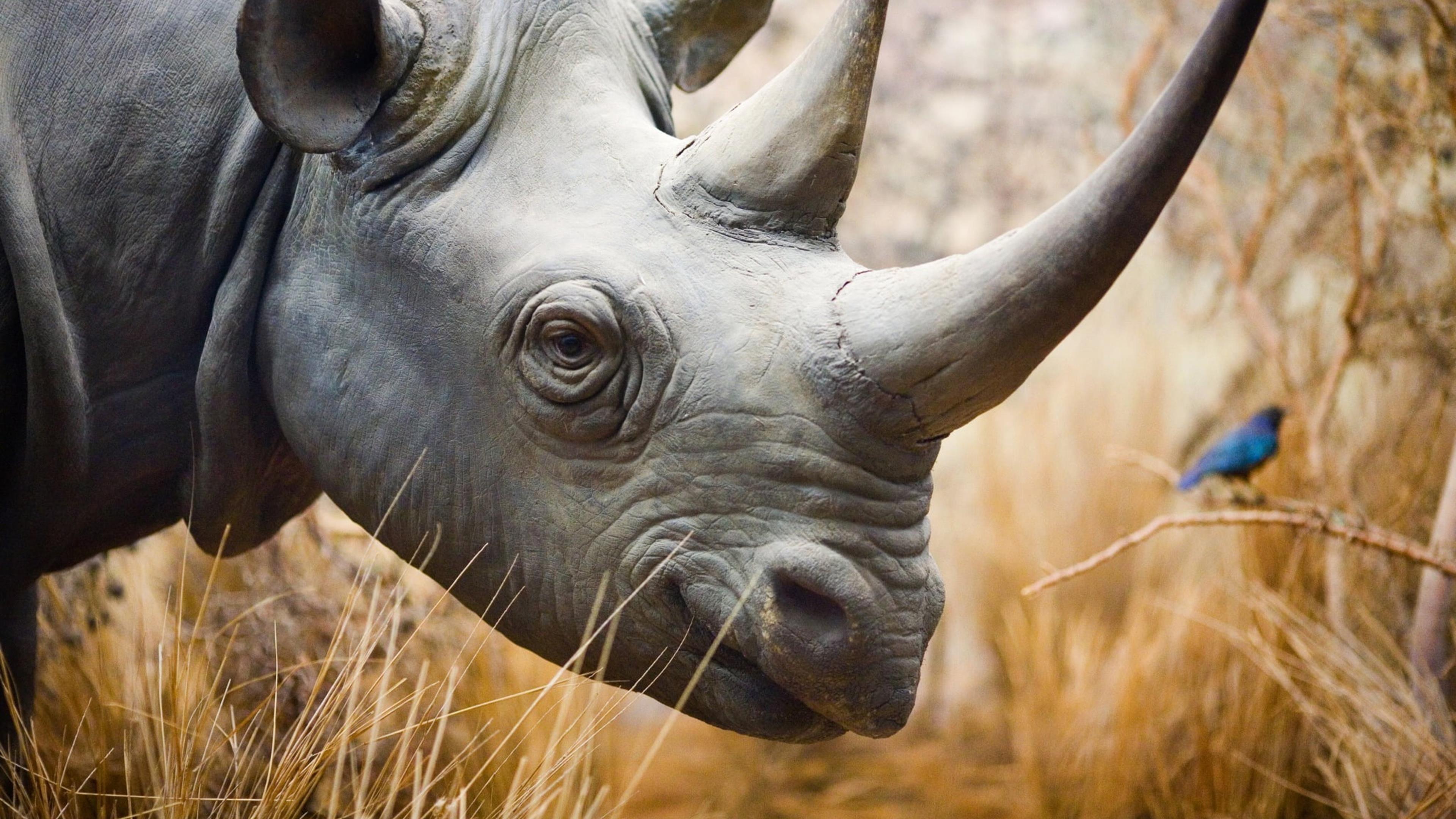 Носорог носорог Лос-Анджелес обои скачать