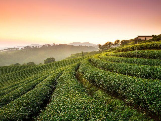 Ландшафт чайных плантаций