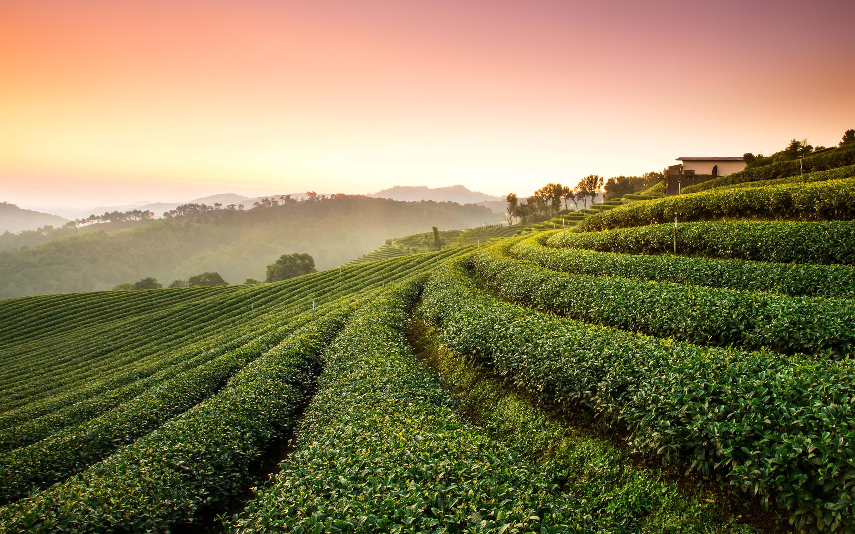 Ландшафт чайных плантаций обои скачать