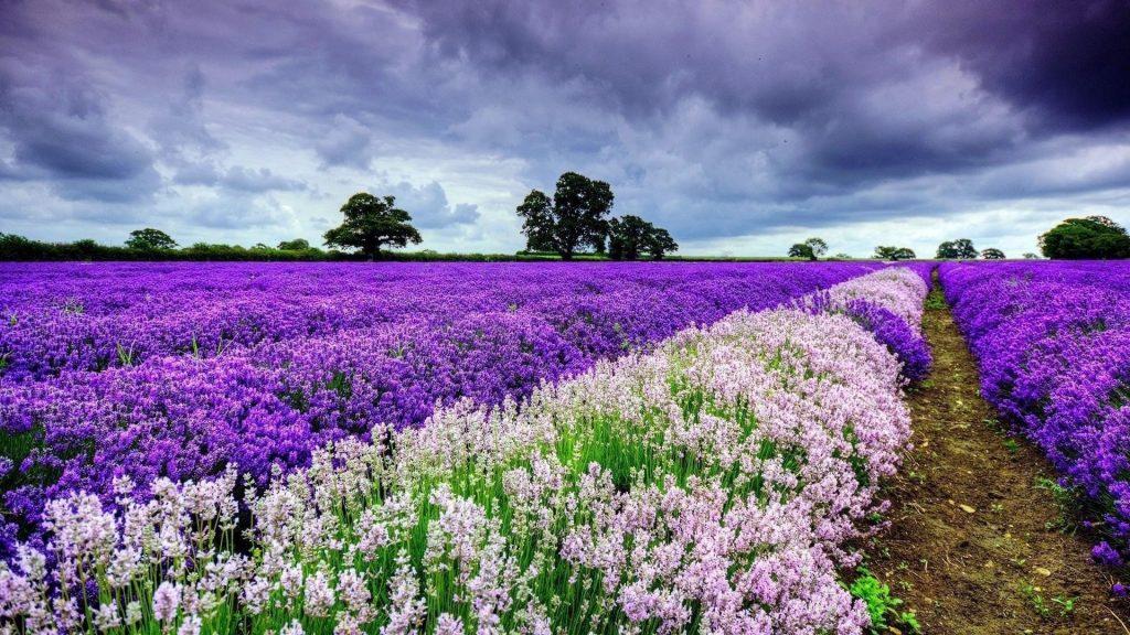 Пурпурно белые цветы лаванды поле под белым облачным небом цветы обои скачать