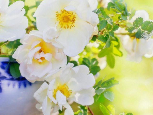 Лепесток шиповника ВАЗа Белый цветок цветы