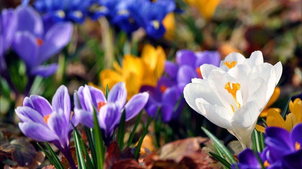 Красочные цветы подснежники растение цветут цветы обои скачать