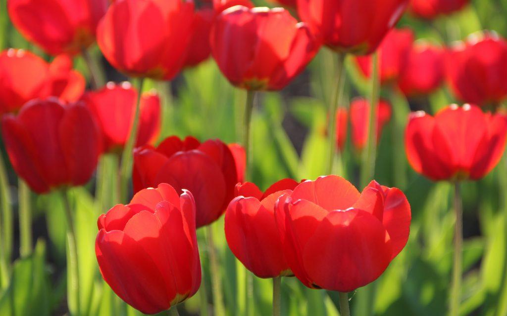 Красные тюльпаны. обои скачать