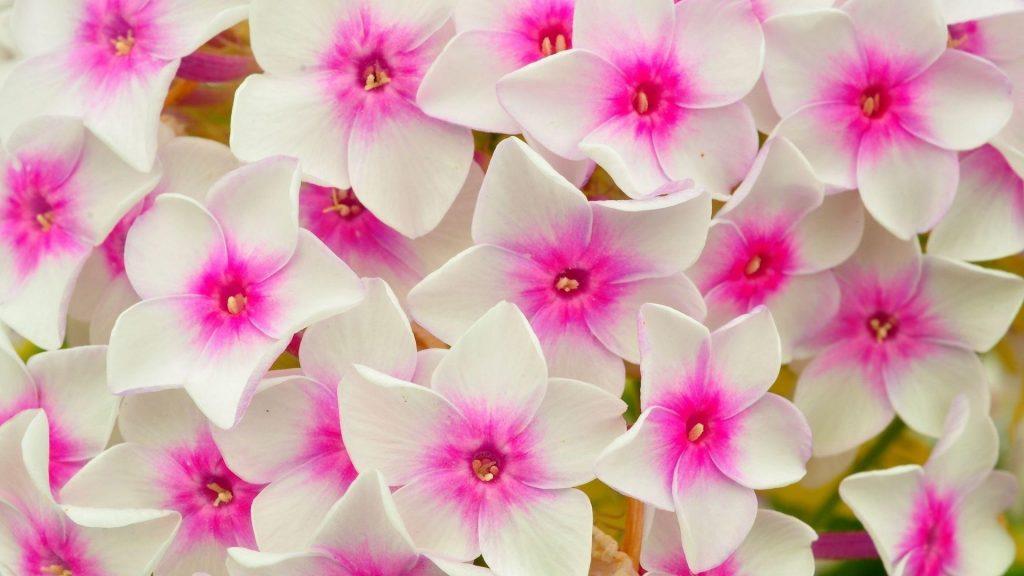 Флоксы цветы лепестки розовые цветы обои скачать