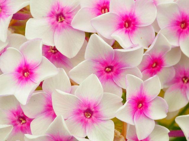 Флоксы цветы лепестки розовые цветы