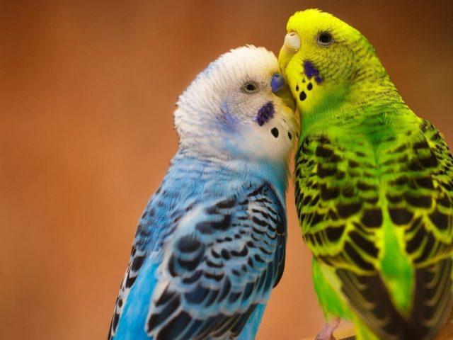 Сине зеленые любовные птицы на ветке дерева в размытом фоне птицы