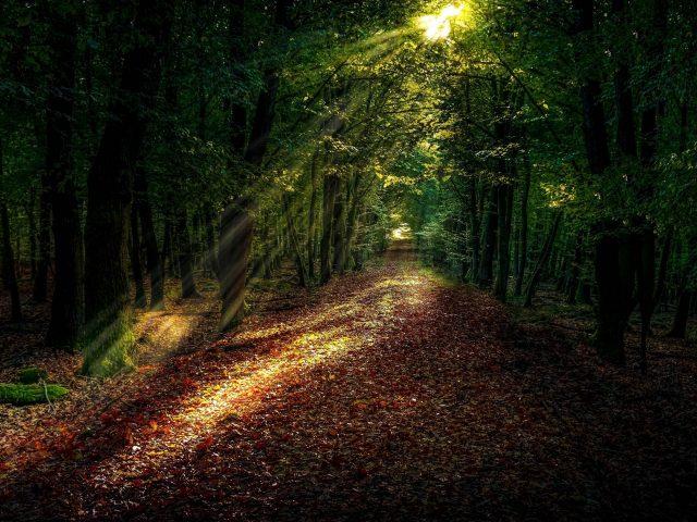 Солнечный свет в темном лесу