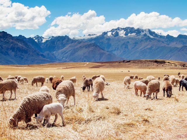 Перу поля овец.