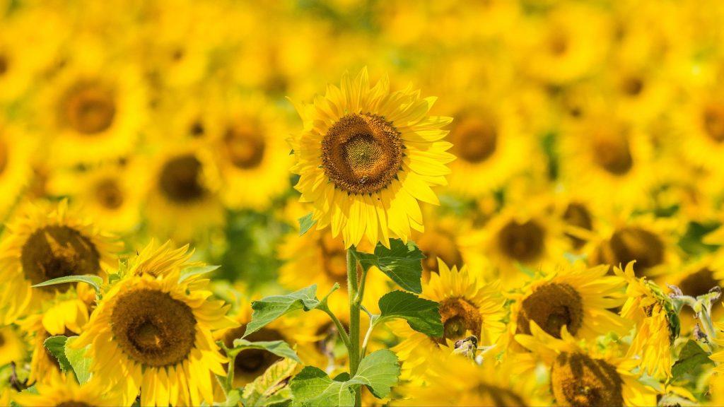 Желтые подсолнухи полевые цветочные цветы обои скачать