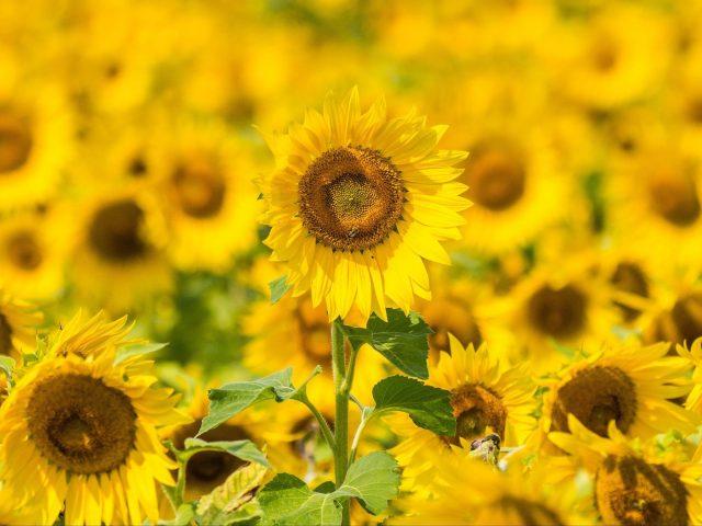 Желтые подсолнухи полевые цветочные цветы