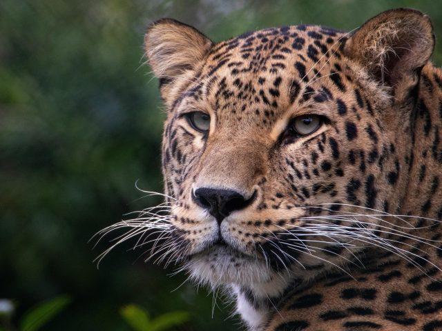Животное леопард животных